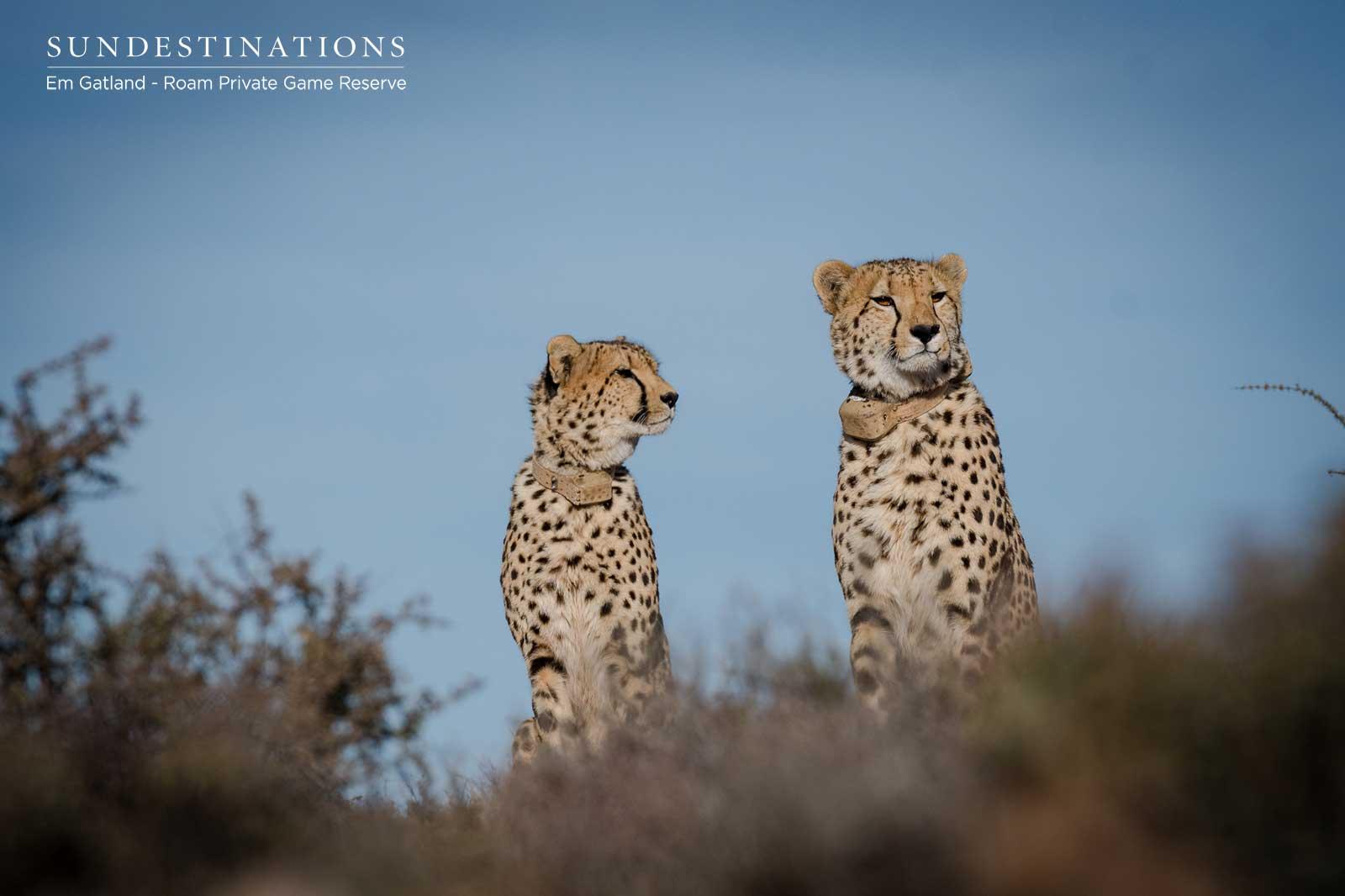 Cheetah in the Great Karoo