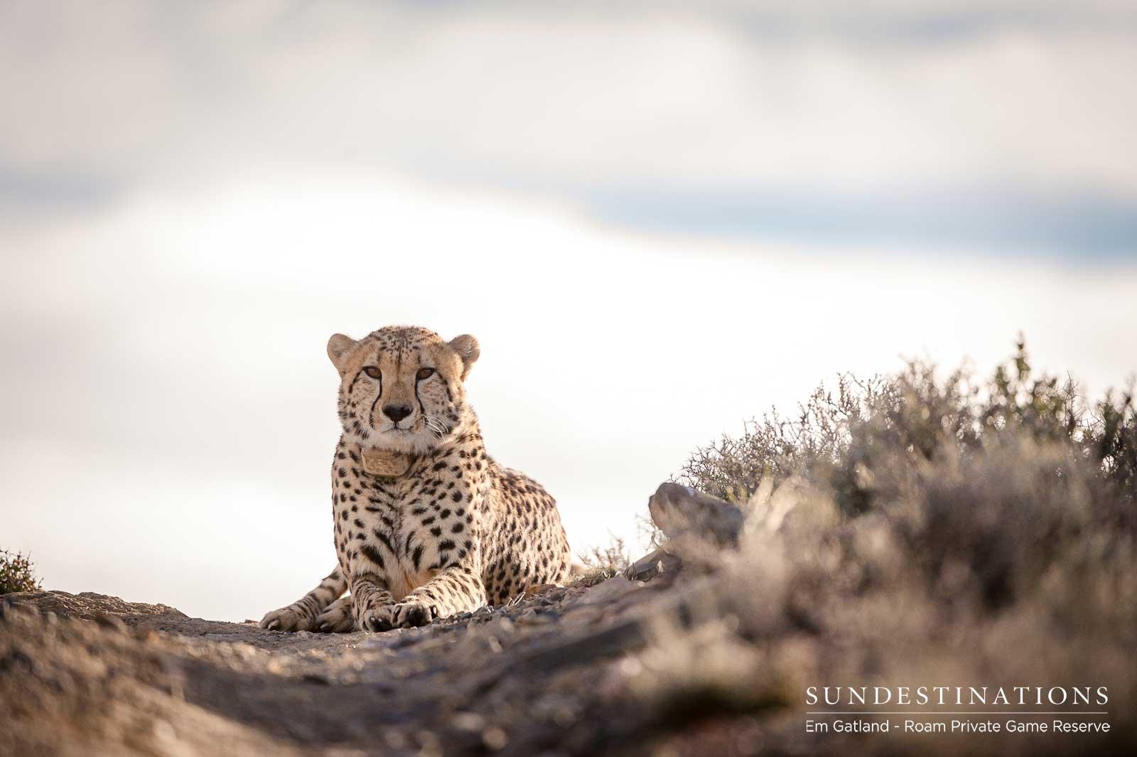 Roam Cheetah Experience Karoo
