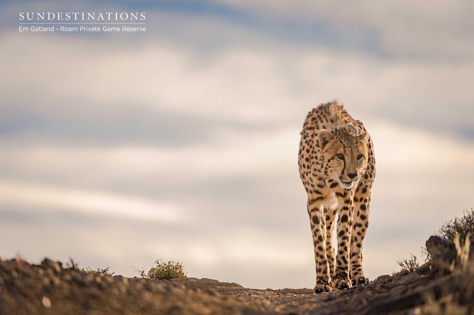 Karoo Roam Cheetah Experience