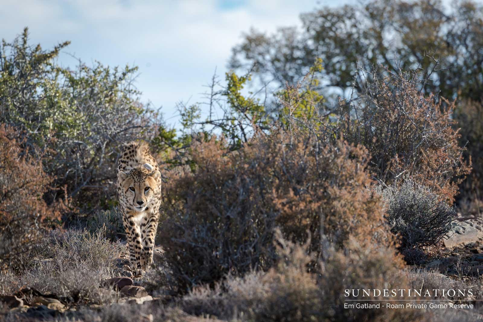 Roam Cheetah in Bushveld