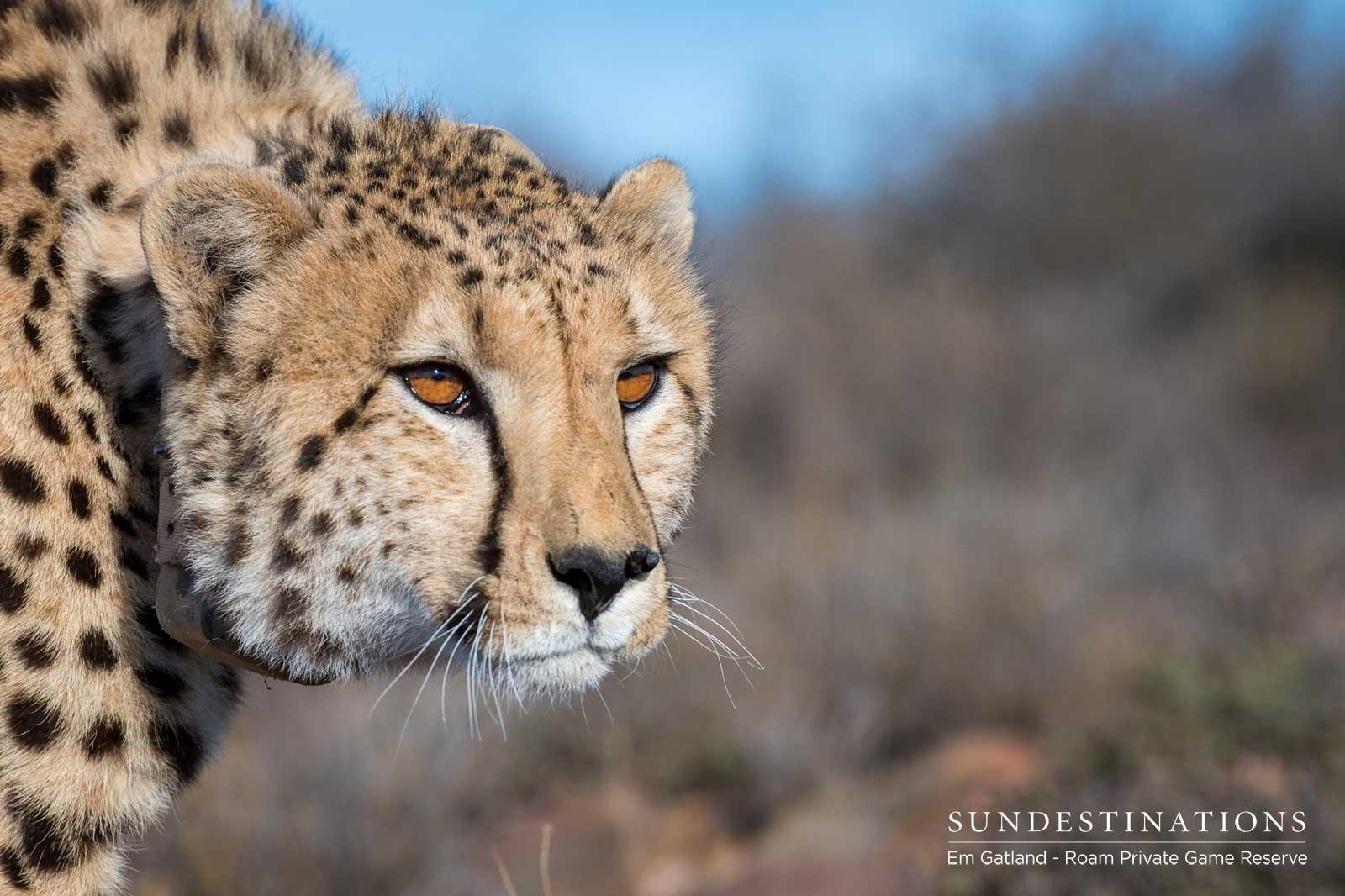 Cheetah at Roam Private Game Reserve