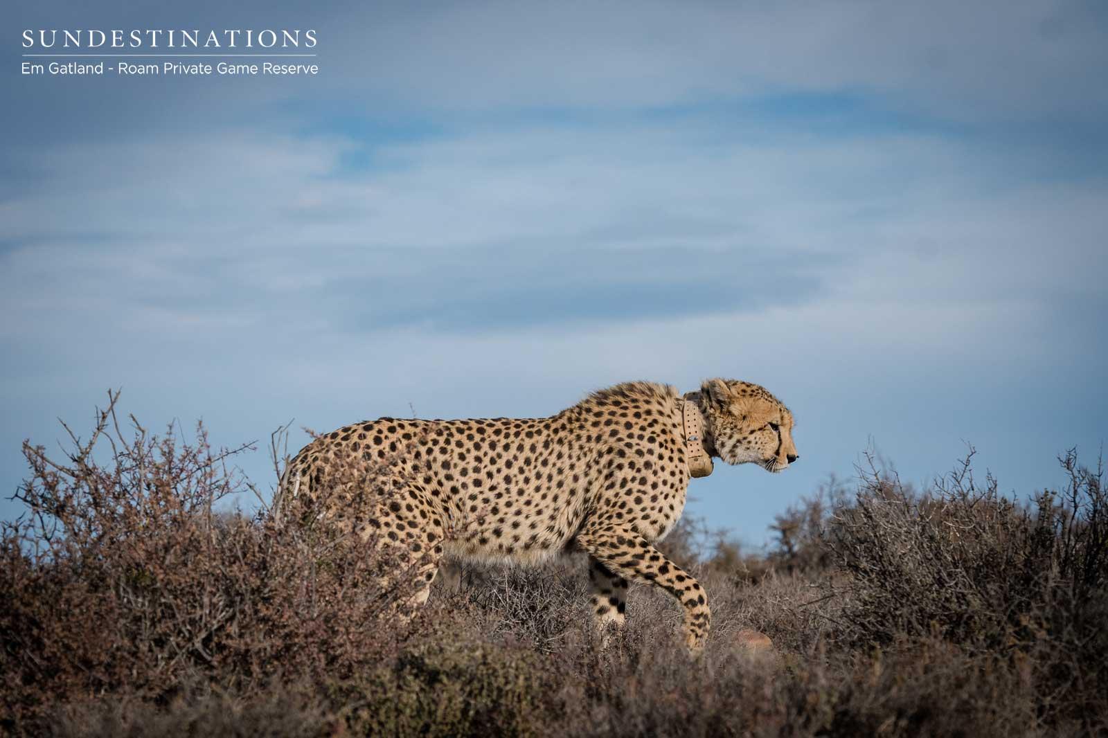 Lone Cheetah in Wilderness