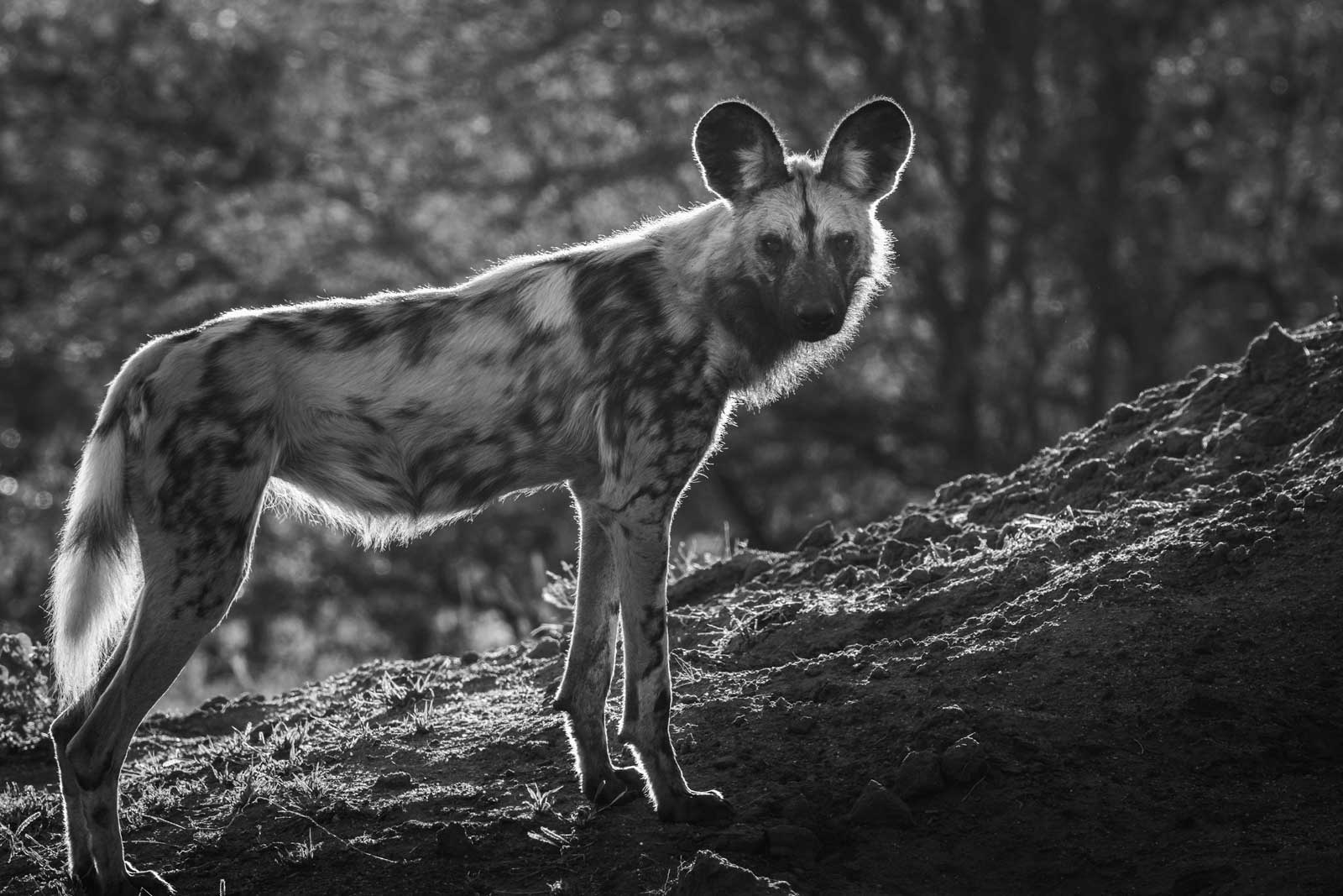Virtual Tours Wild Dogs