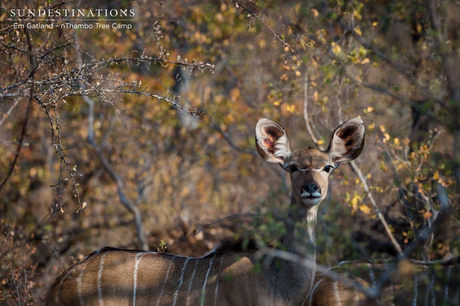 Kudu Cow - nThambo Tree Camp