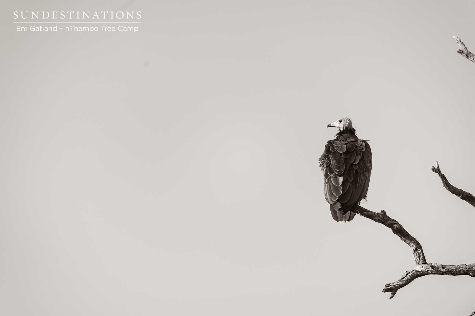 Vultures at nThambo Tree Camp