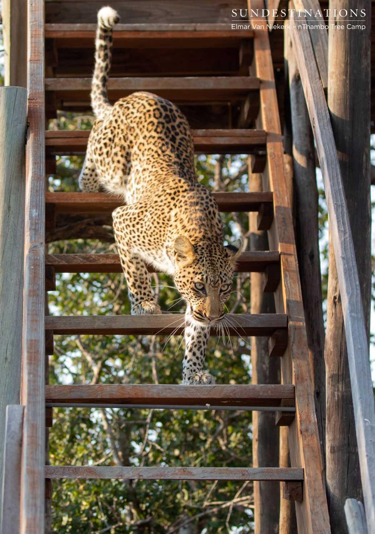 nThambo Leopard Buffel Dam