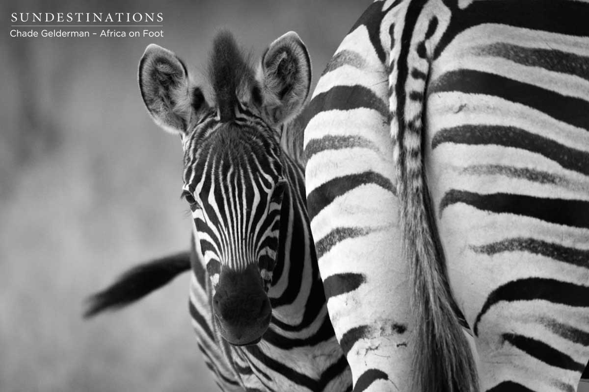 Africa on foot Zebra