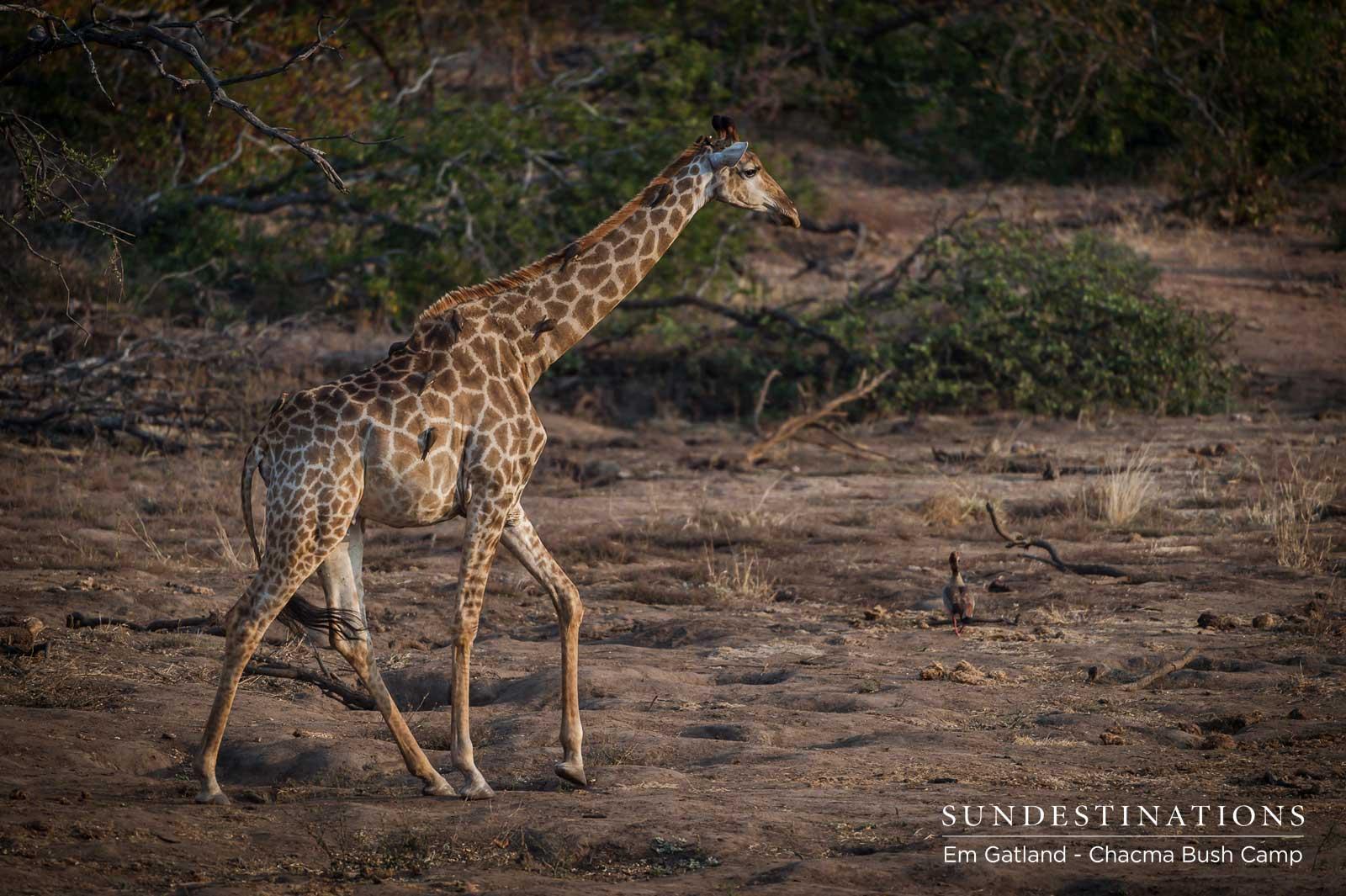Chacma Giraffe in Maseke