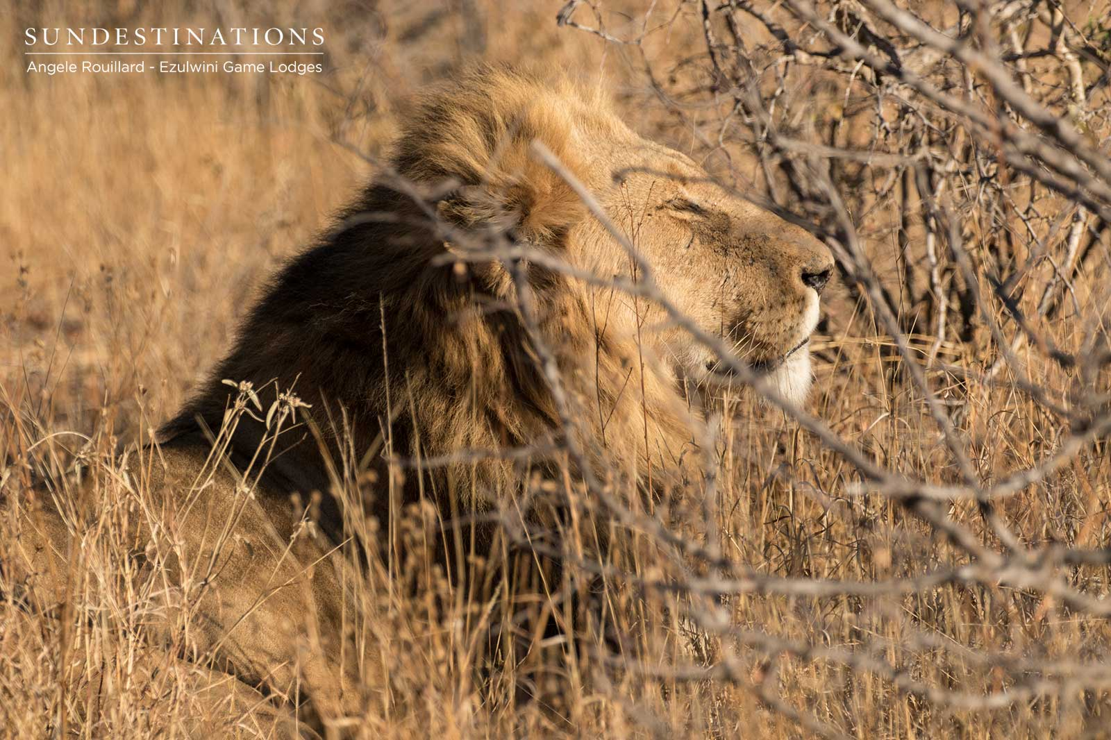 Male Lion Ezulwini Game Lodges