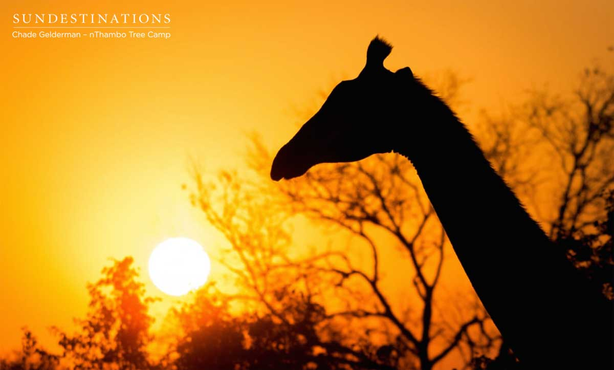 Giraffe at nThambo Tree Camp