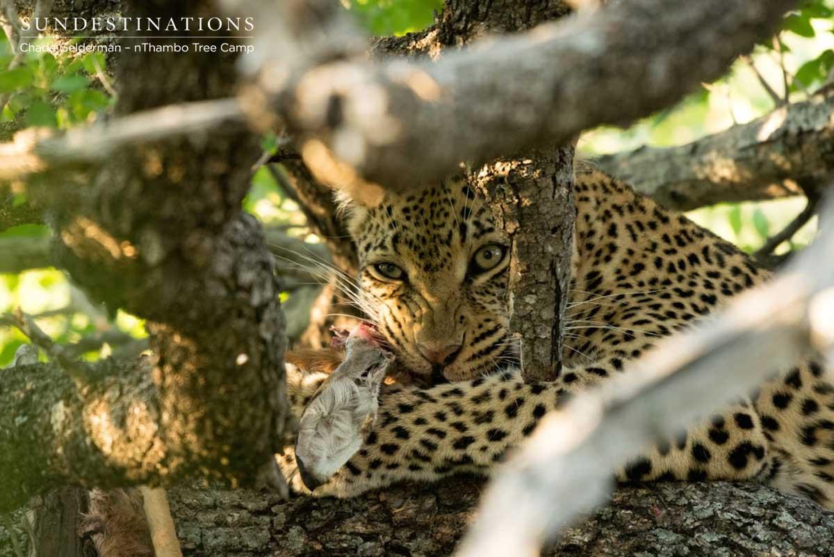 Leopard at nThambo Tree Camp