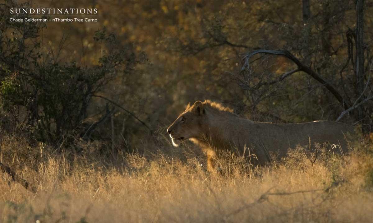 nThambo Lion in Klaserie
