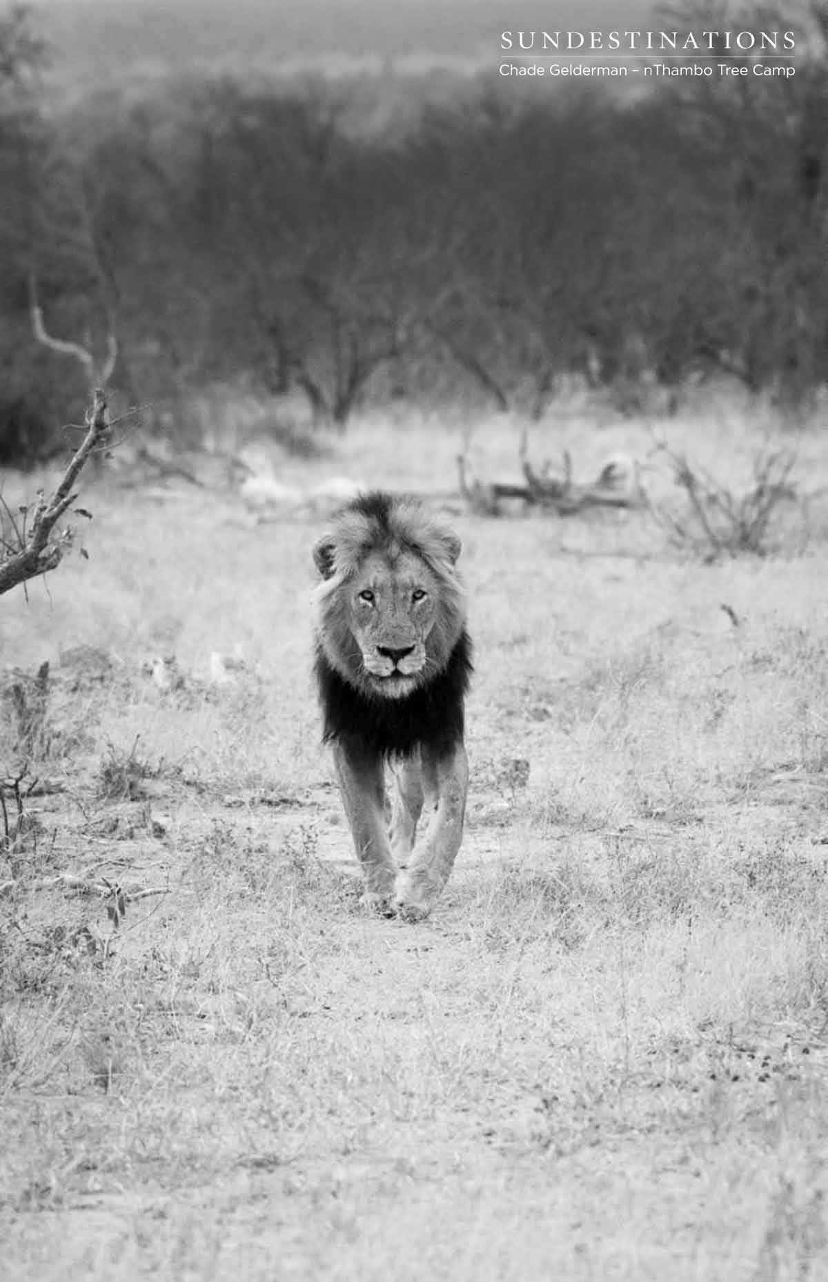 Black Dam Male Lion in Klaserie