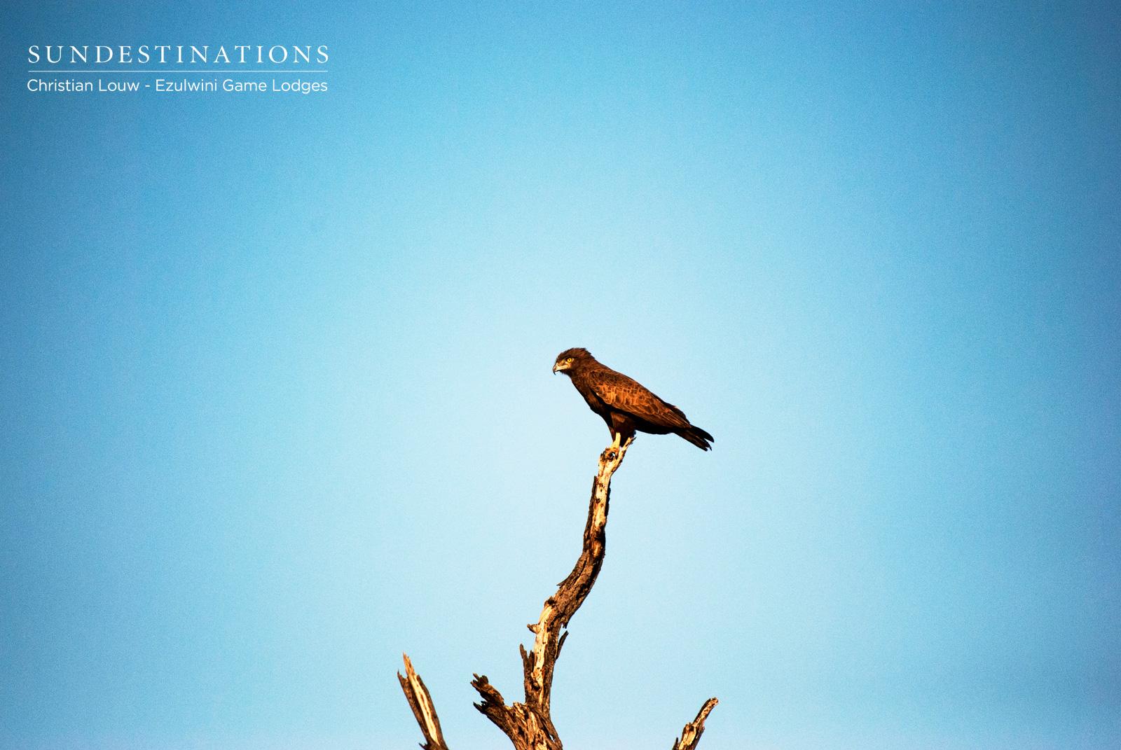 Ezulwini Brown Snake Eagle