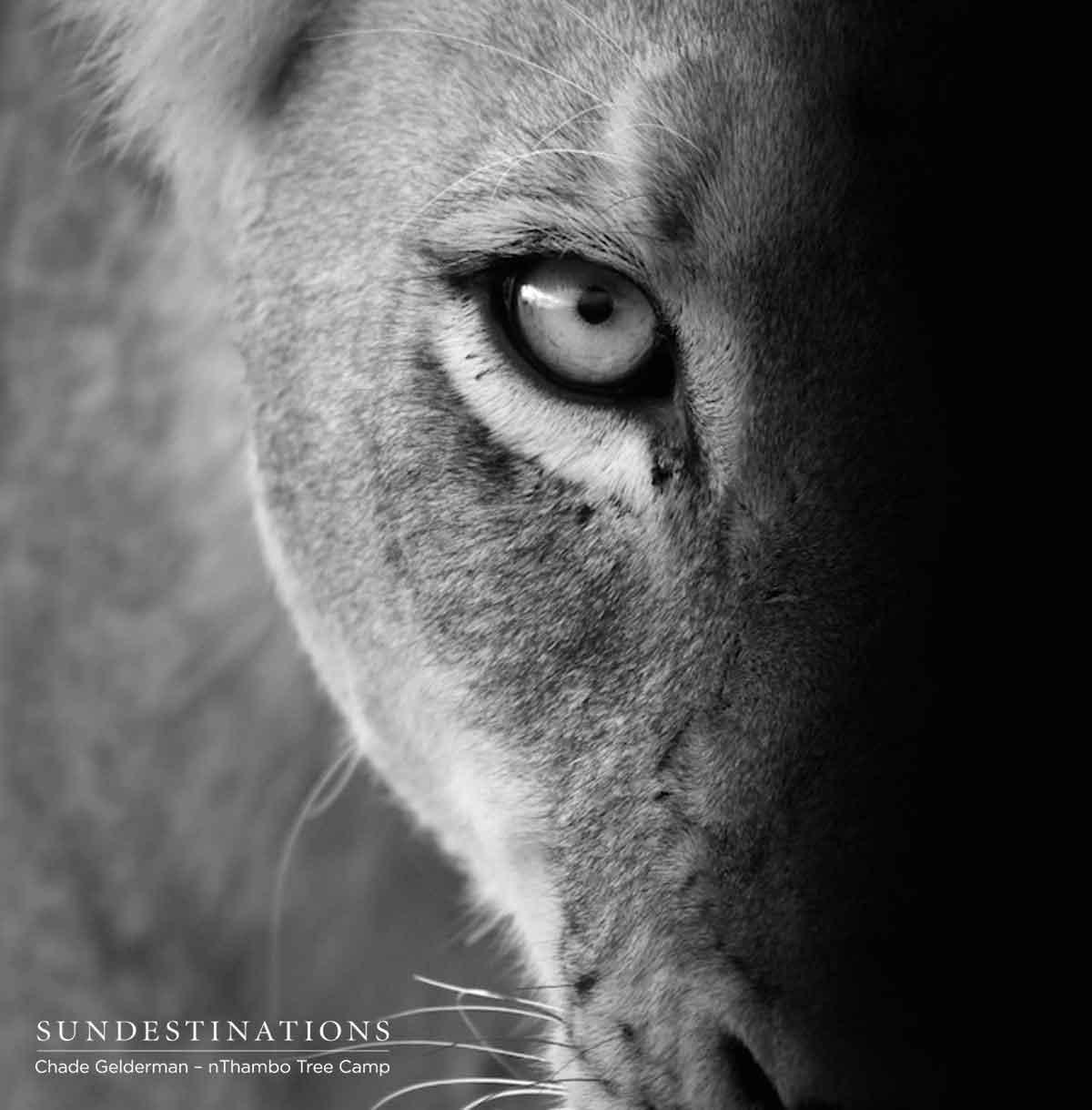 Ross Pride Lioness