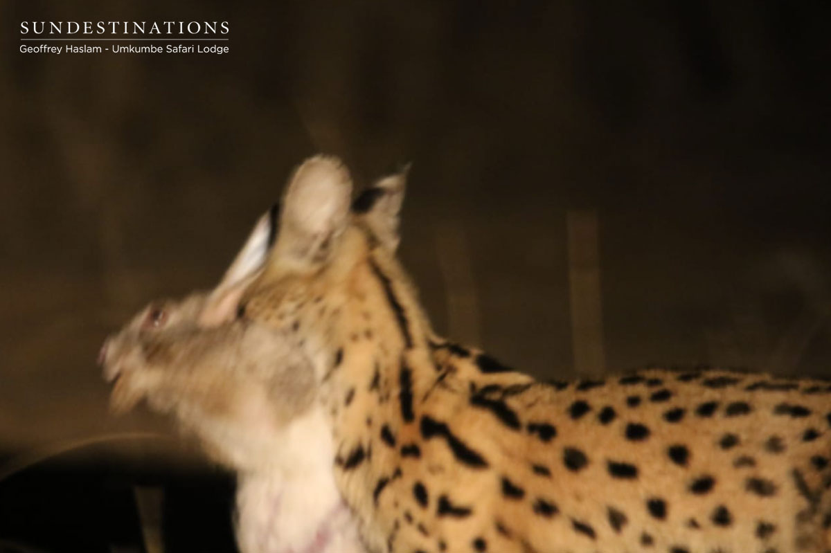 Serval with Kill