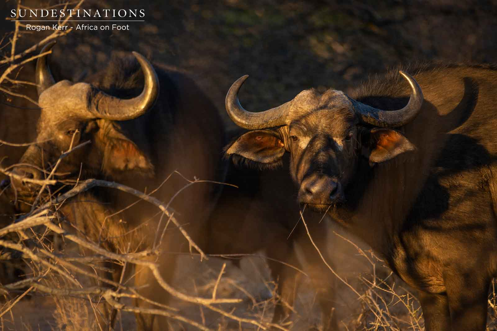 Buffalo at Africa on Foot