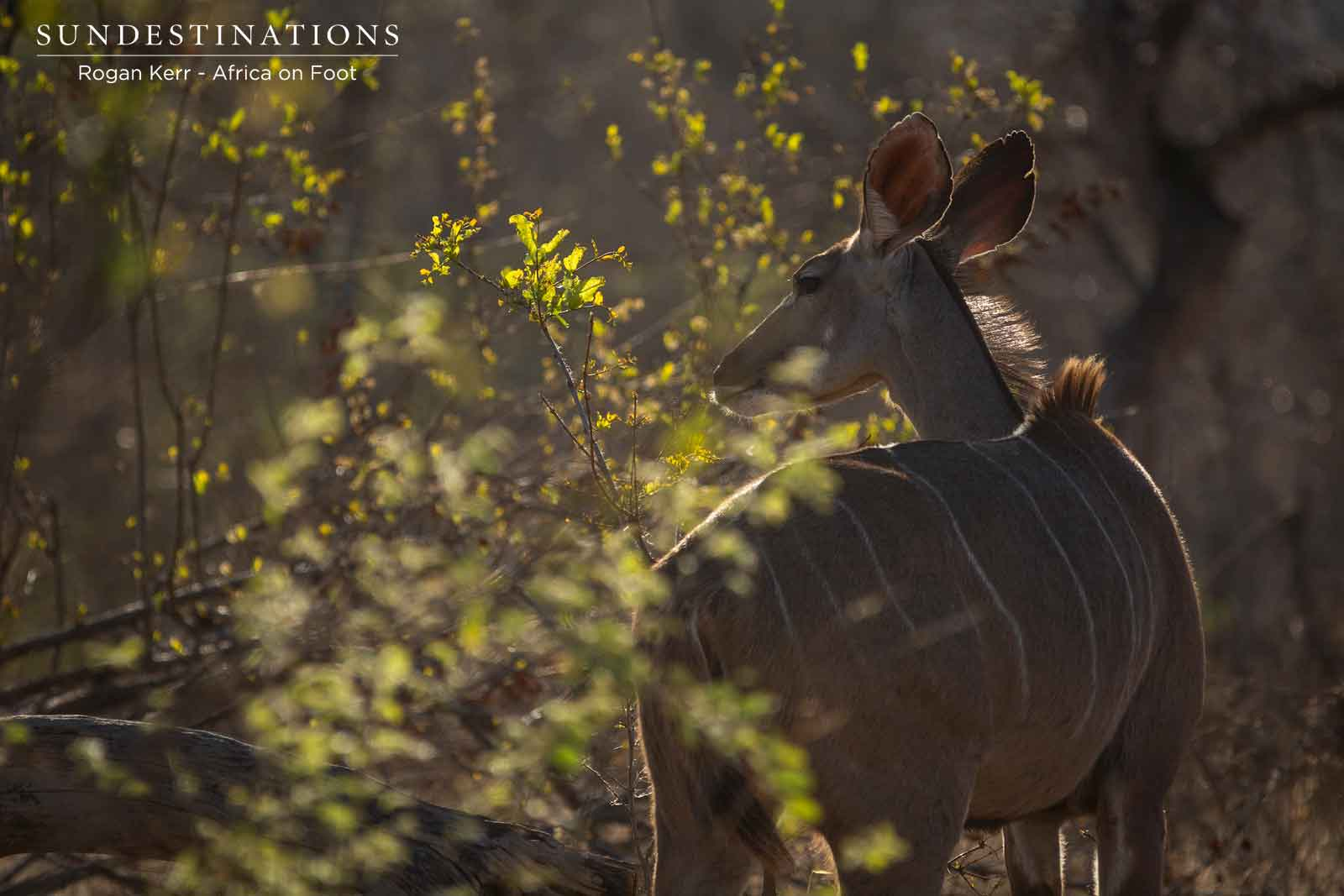 Kudu Cow Africa on Foot