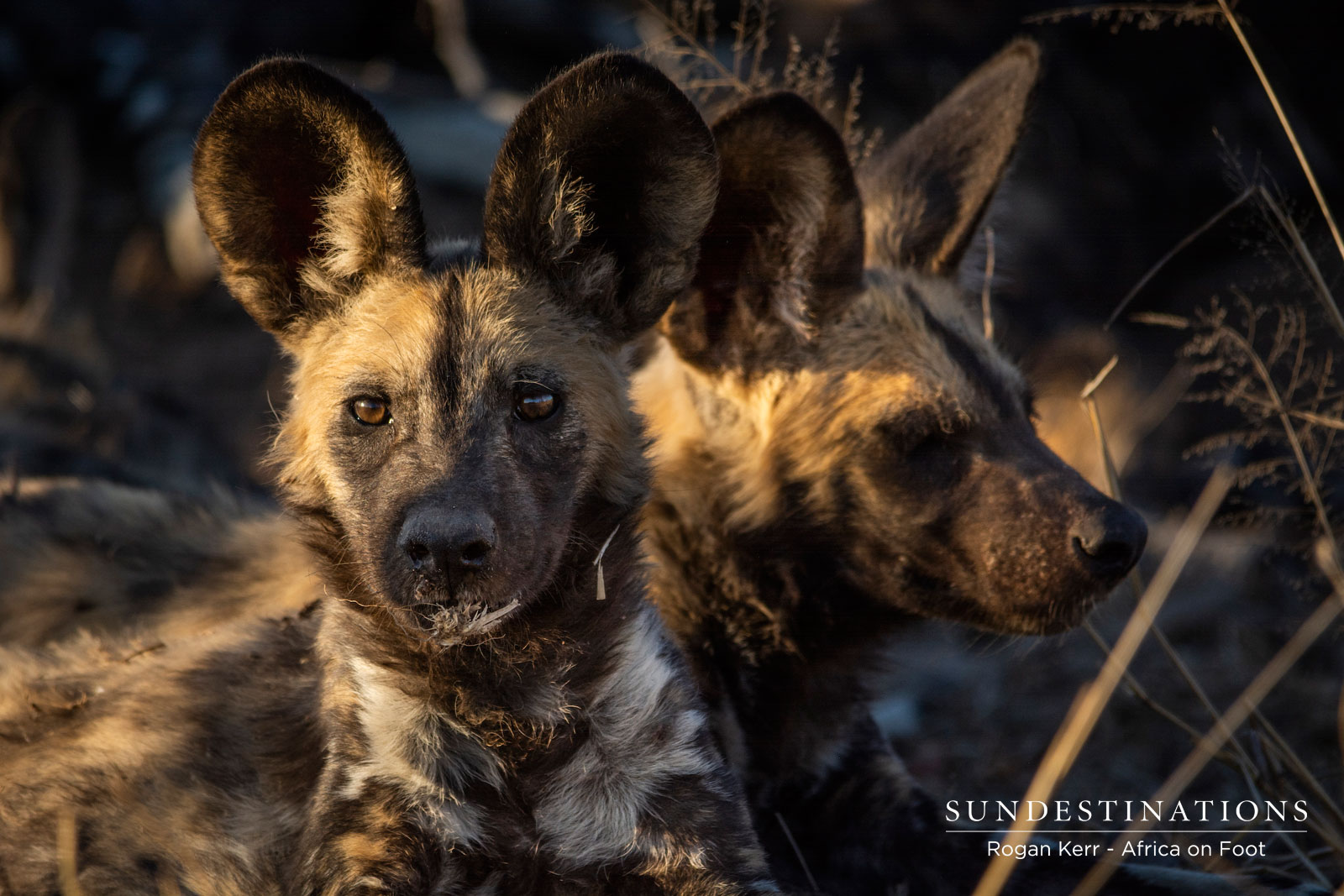 The Week in Pictures : Wild Dogs and Savage Predators