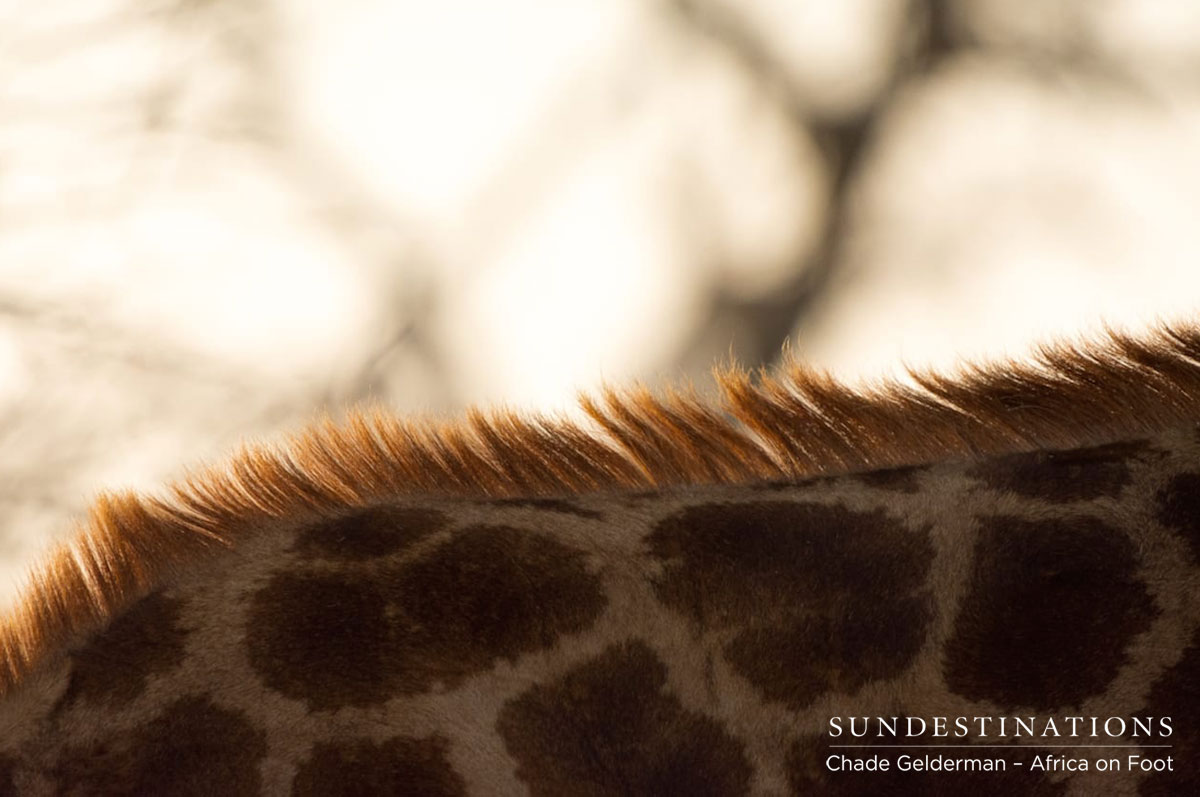 Giraffe at Africa on Foot