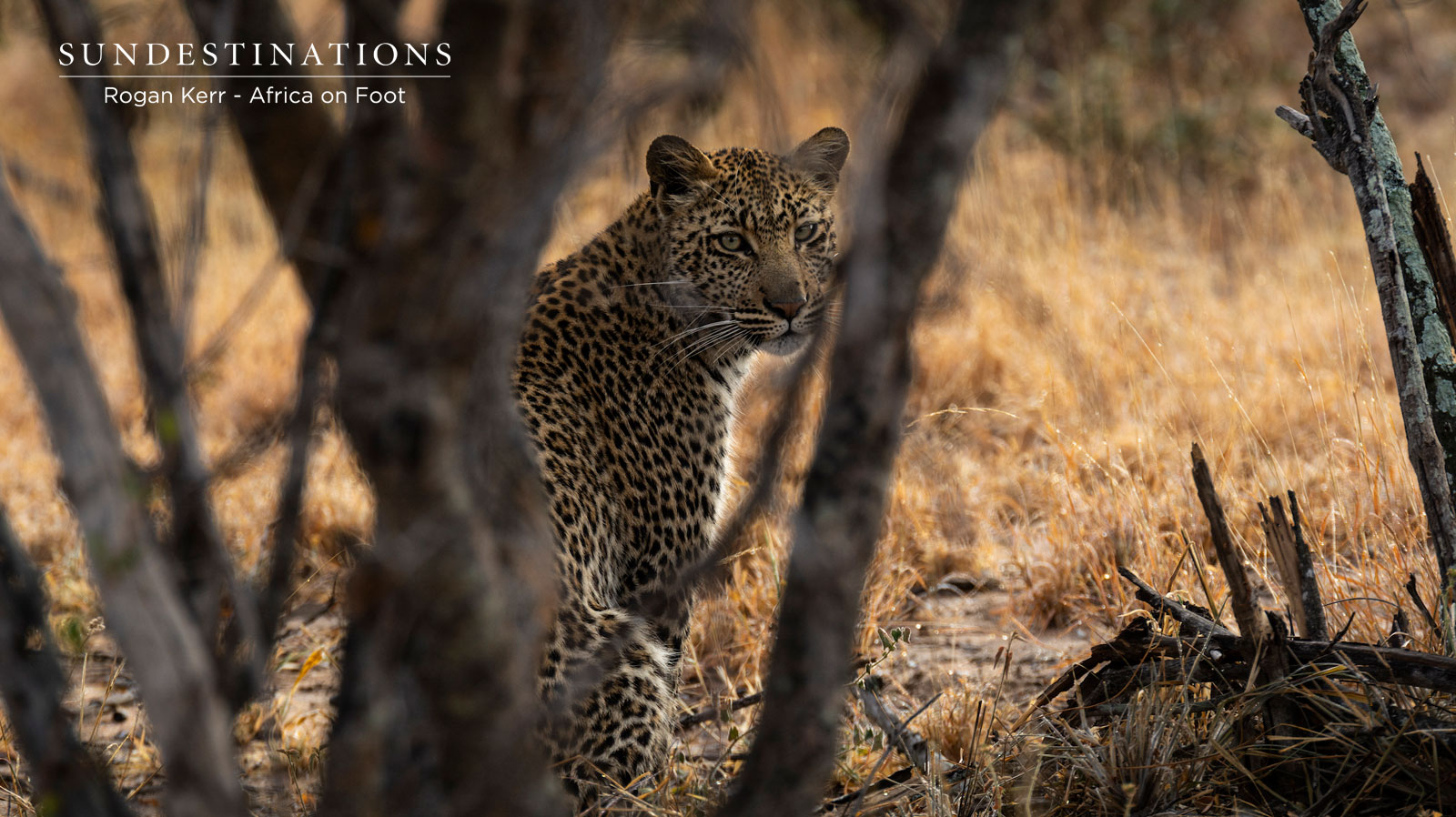 Leopards Africa on Foot