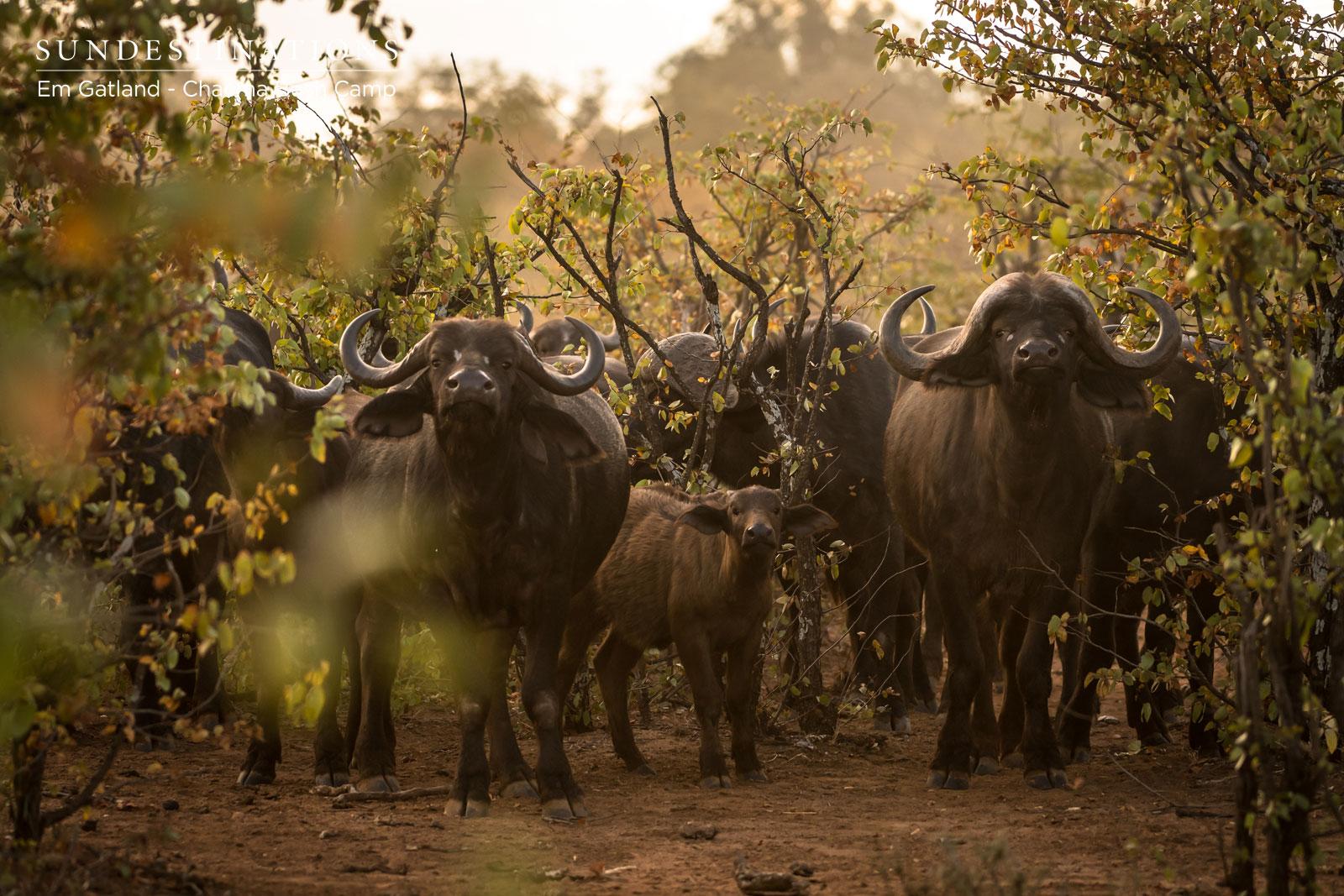 Buffalo Herd Chacma Bush Camp