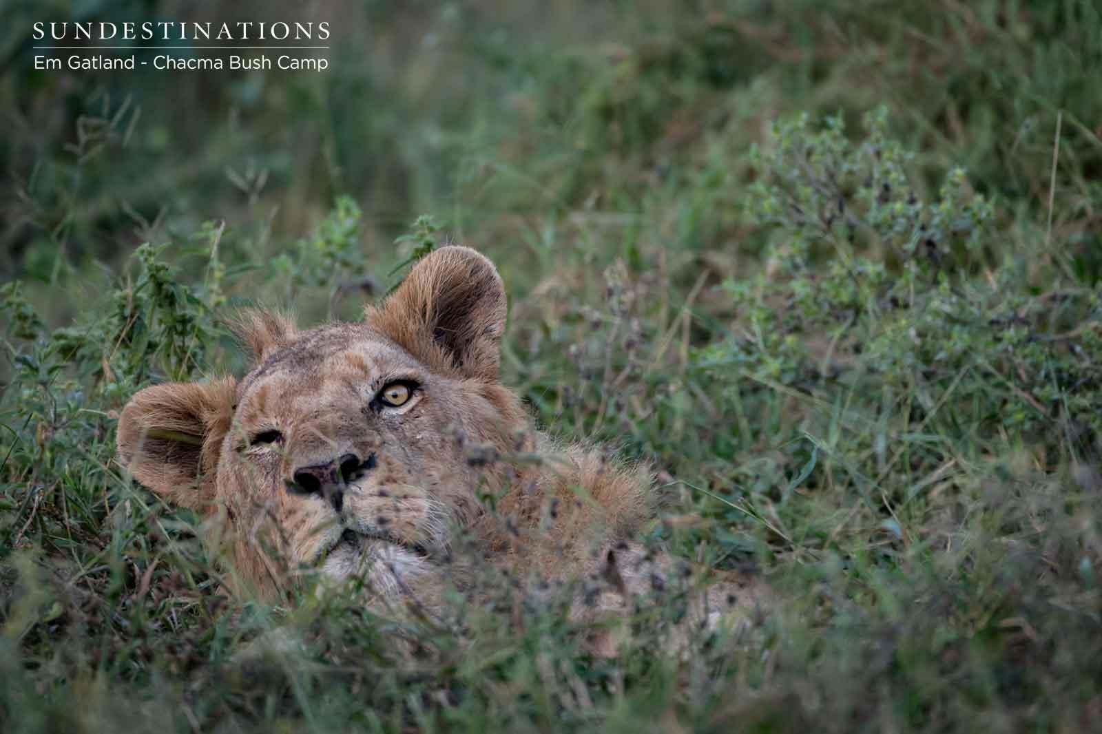 Chacma Lions Maseke
