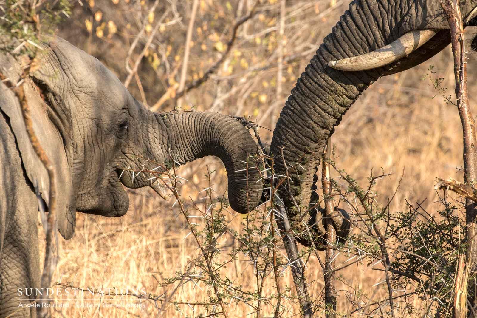 Ezulwini Elephant Calf