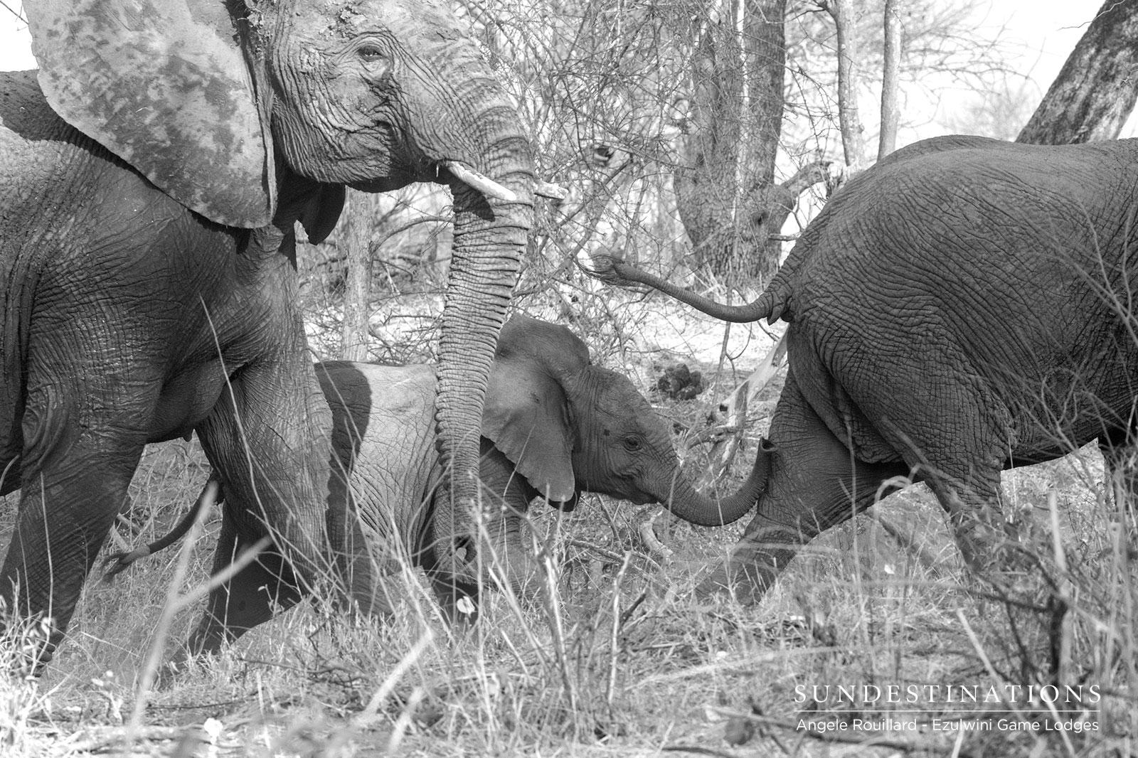 Elephants at Ezulwini