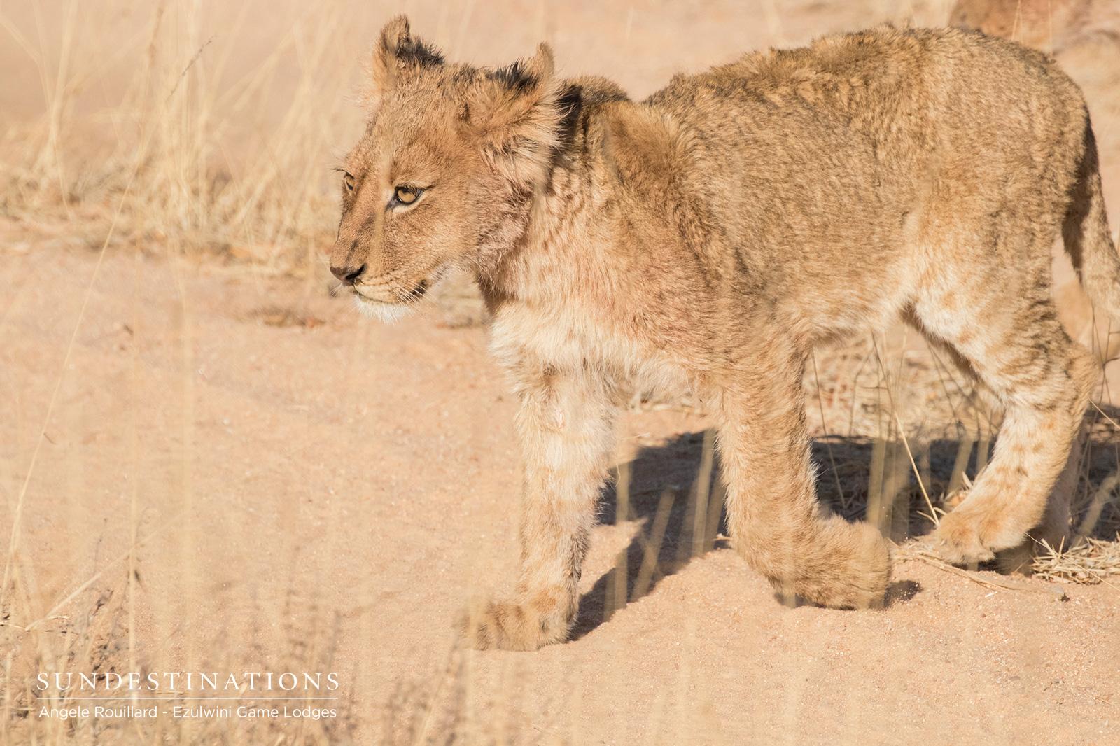 Kudyela Lion Cub at Ezulwini