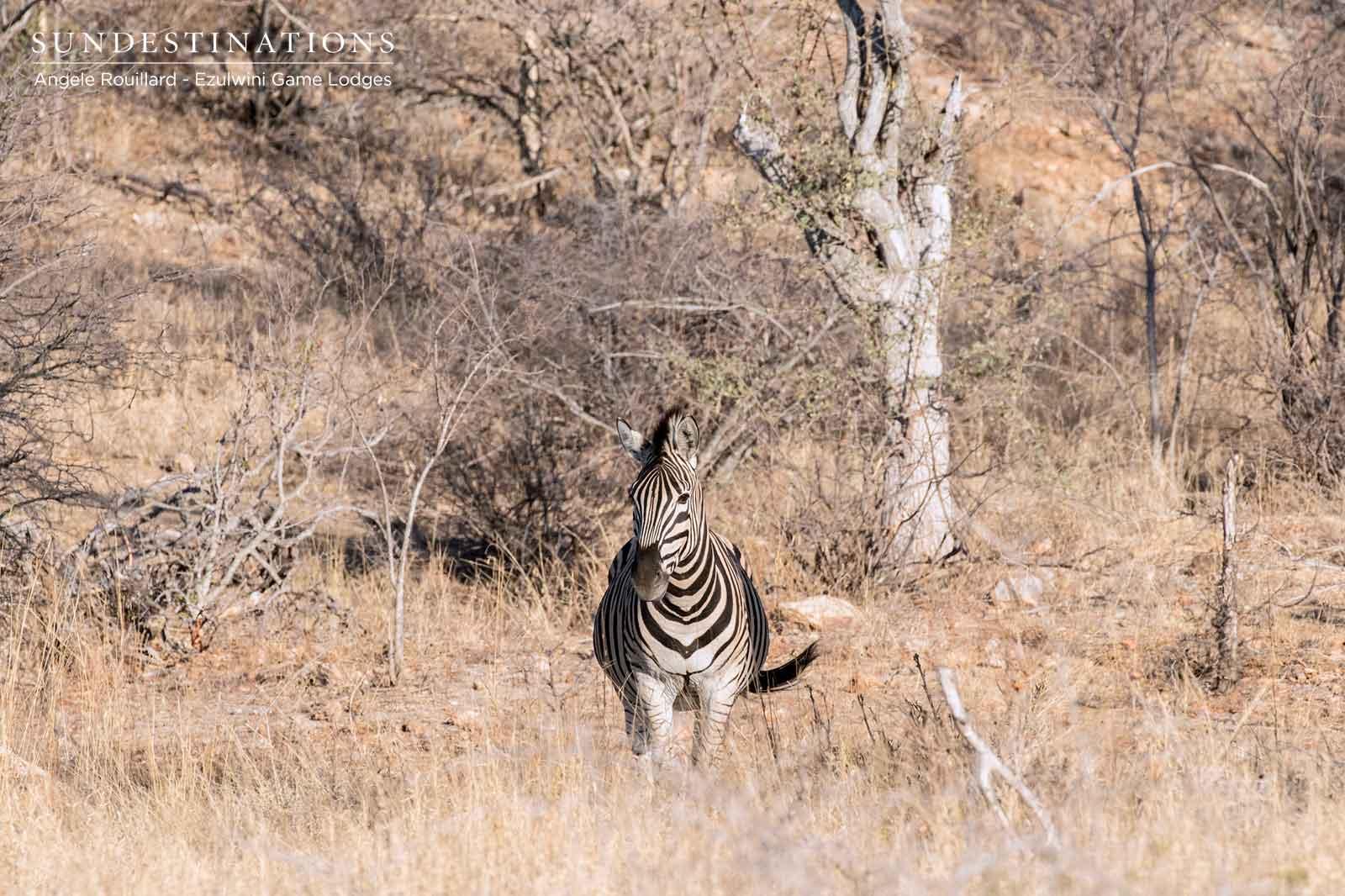 Zebra Ezulwini Balule