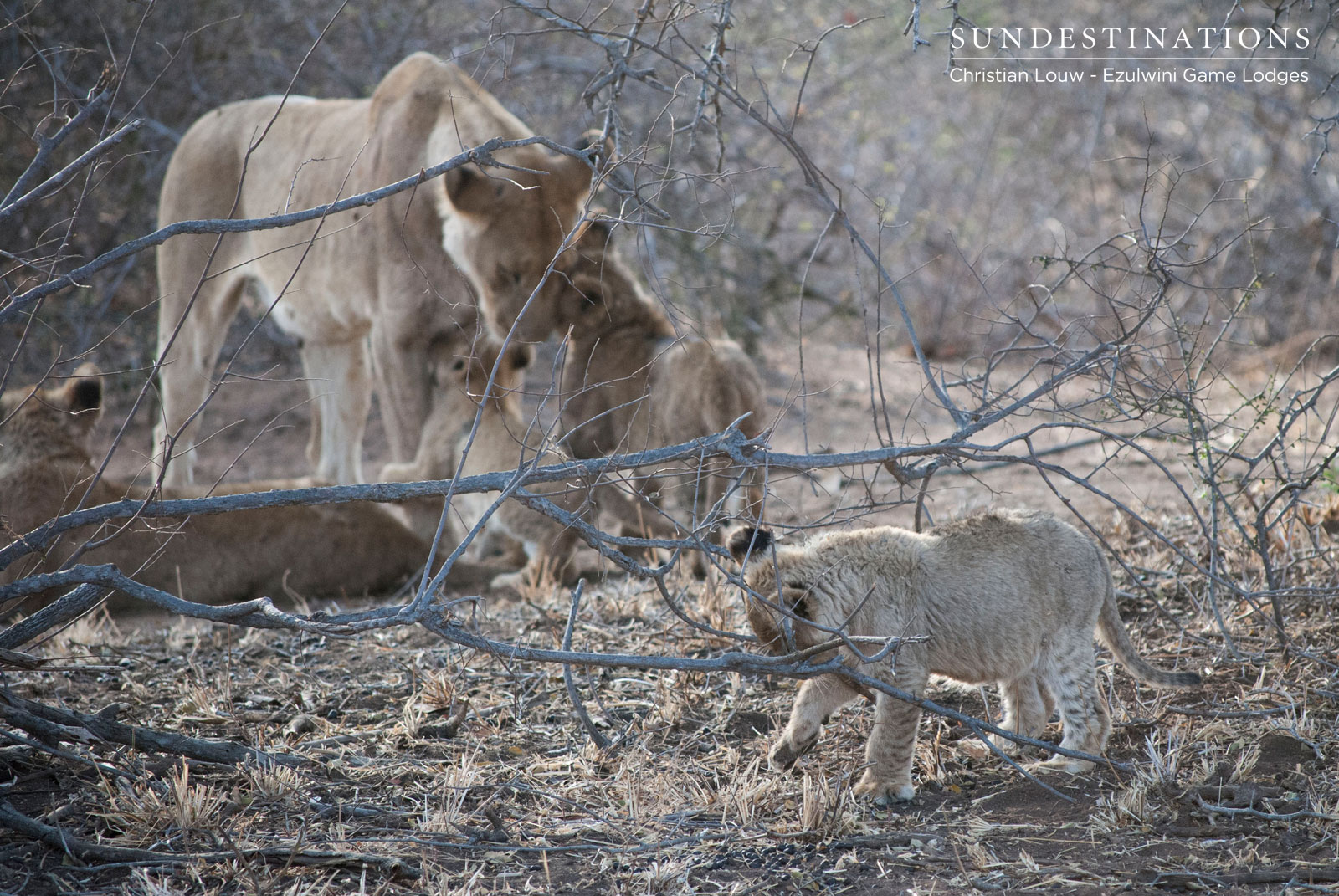Lion Cubs in Ezulwini