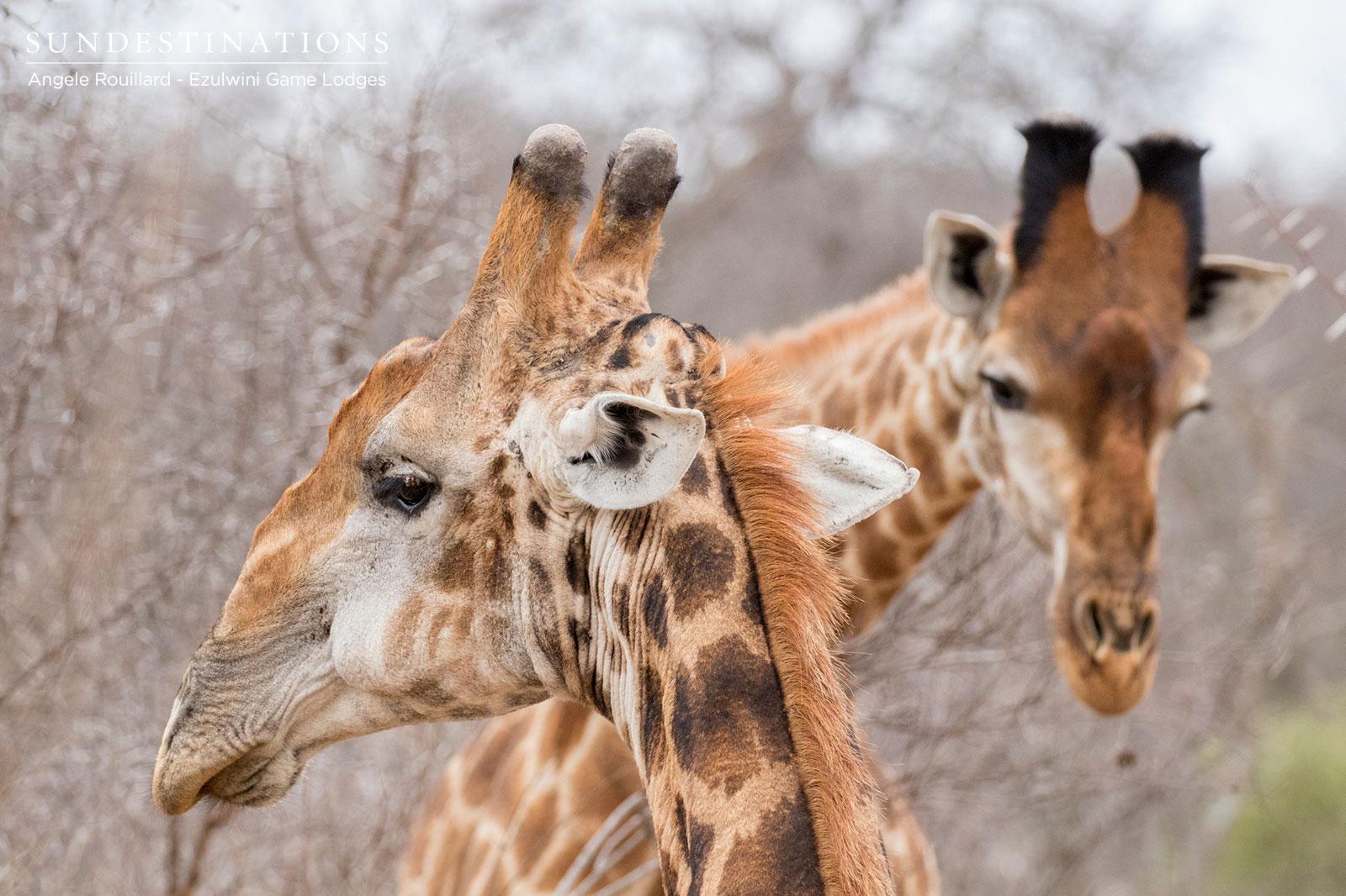 Ezulwini Game Lodges Giraffe