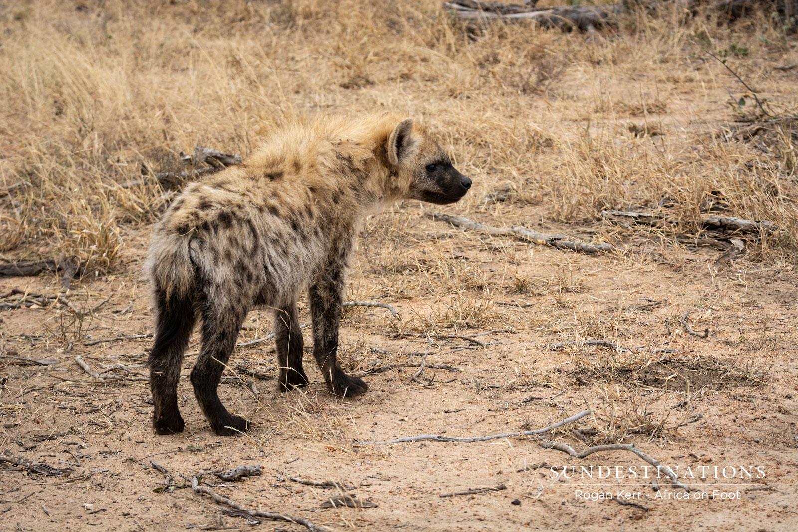 Africa on Foot Hyena