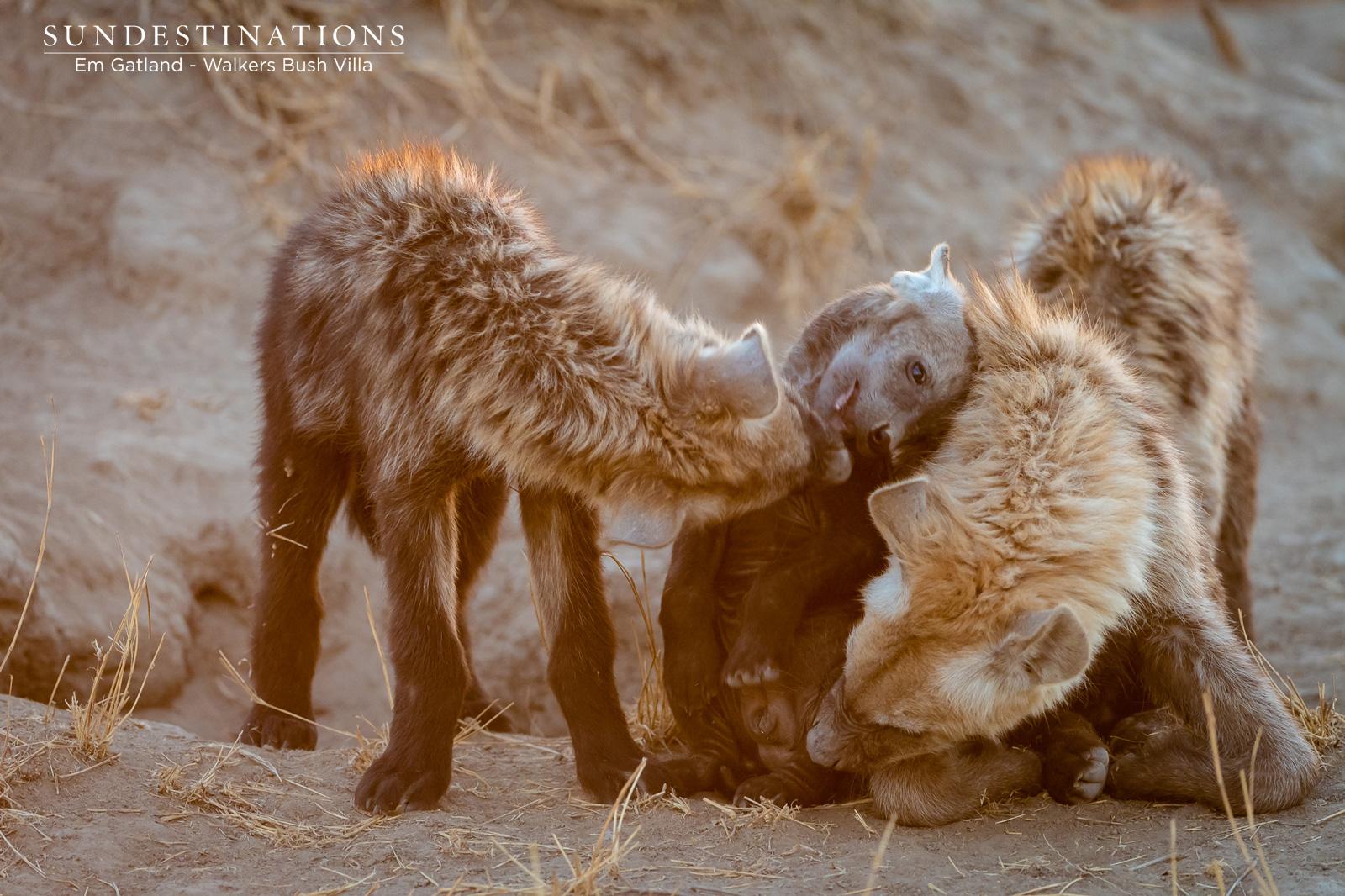Hyena Cubs at Walkers Bush Villa