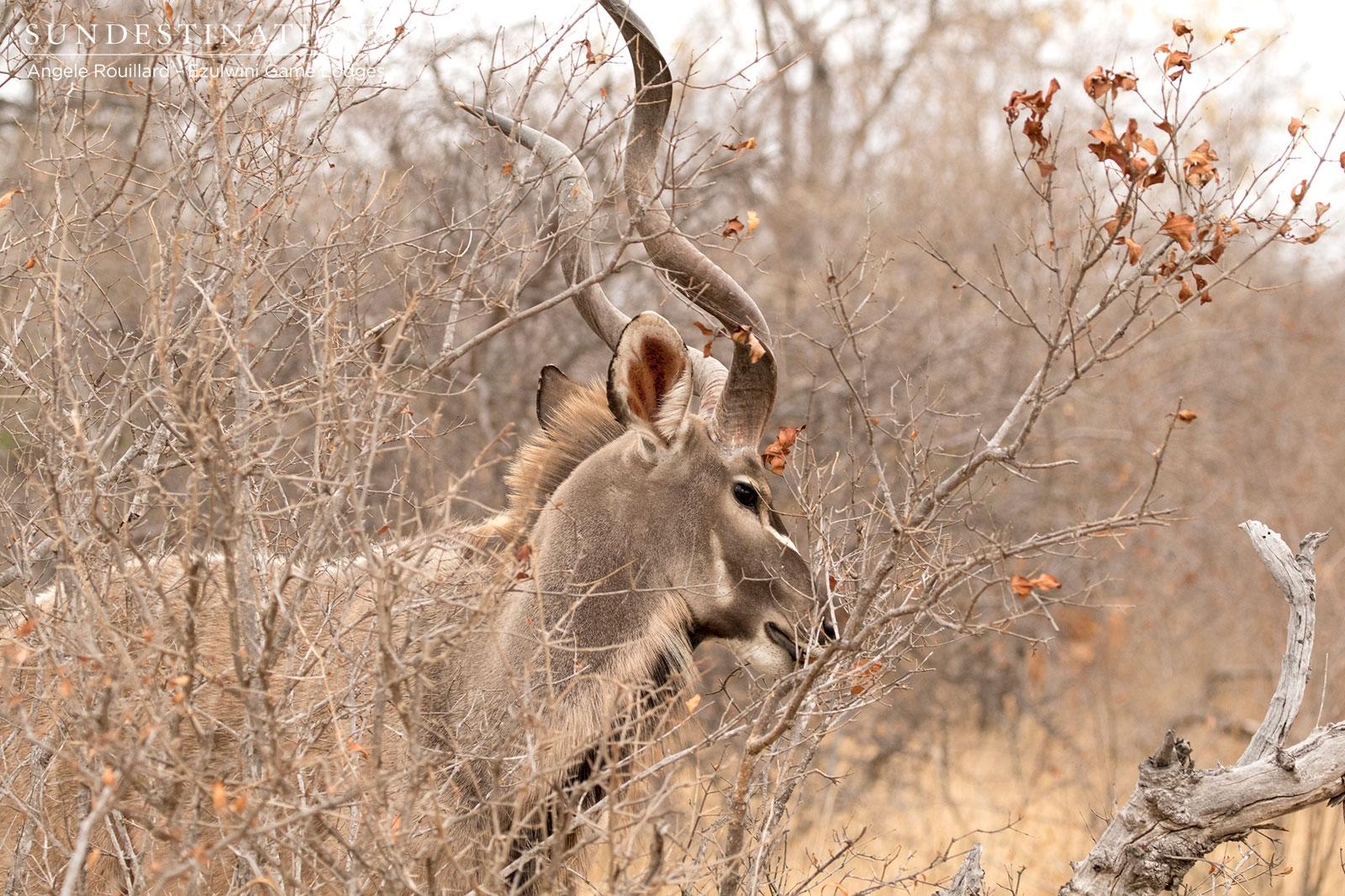Kudu Bull in Ezulwini