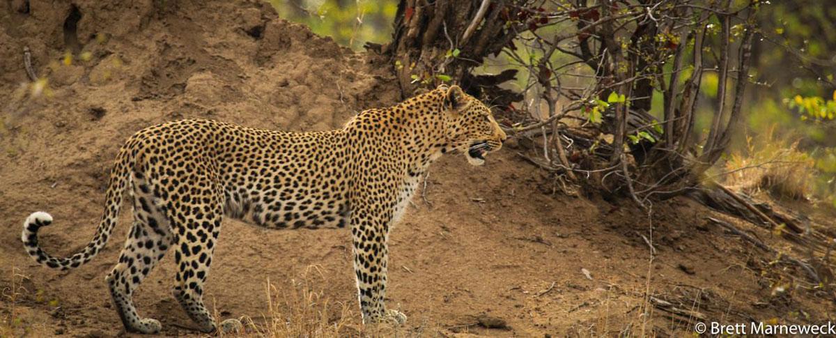 Leopard Nsala Safari Camp