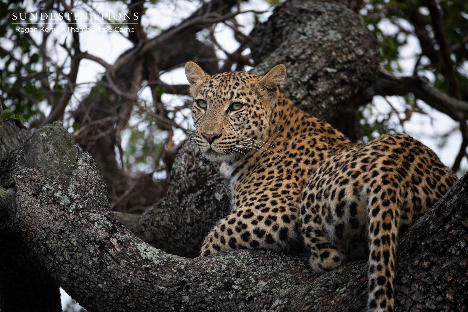 nThambo Leopard Sighting
