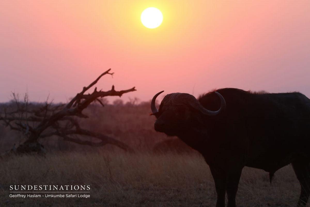 Umkumbe Buffalo Susnet