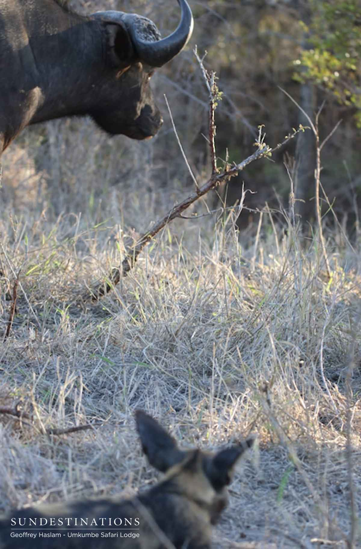 Buffalo and Wild Dog at Umkumbe