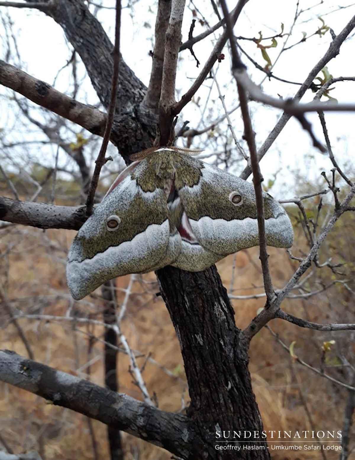 Emperor Moths in Umkumbe