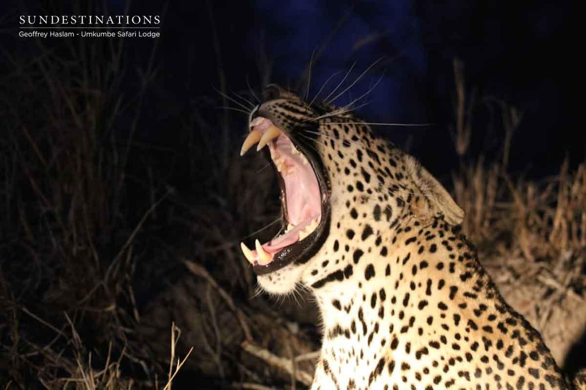 Umkumbe's Nweti Male Leopard
