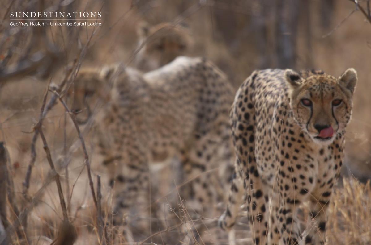 Cheetah at Umkumbe Safari Lodge