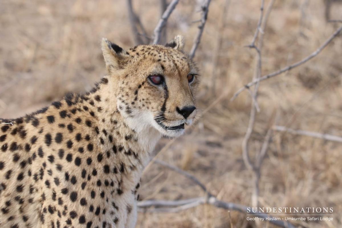 Lone Cheetah at Umkumbe Safari Lodge