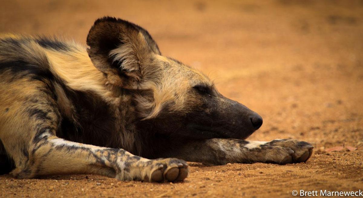 Wild Dog in Nsala