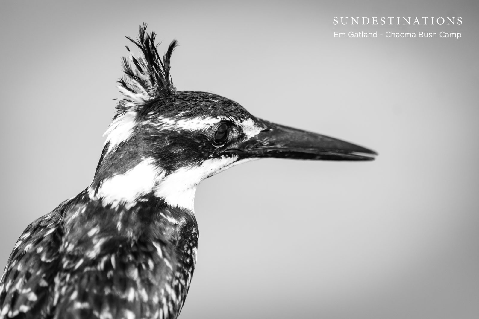 Pied Kingfisher Chacma