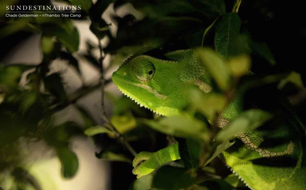 Chameleon in Klaserie