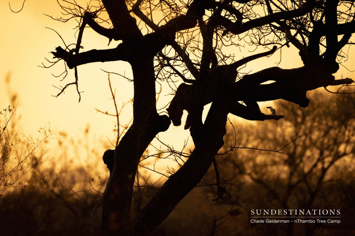 Leopard in Tree at nThambo