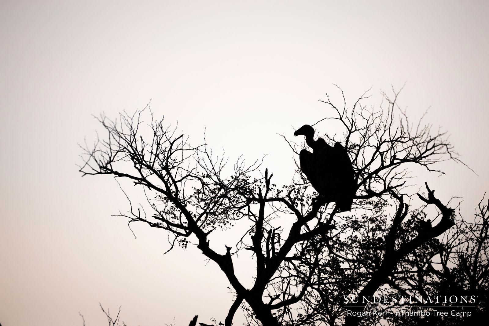 Vultures in Klaserie