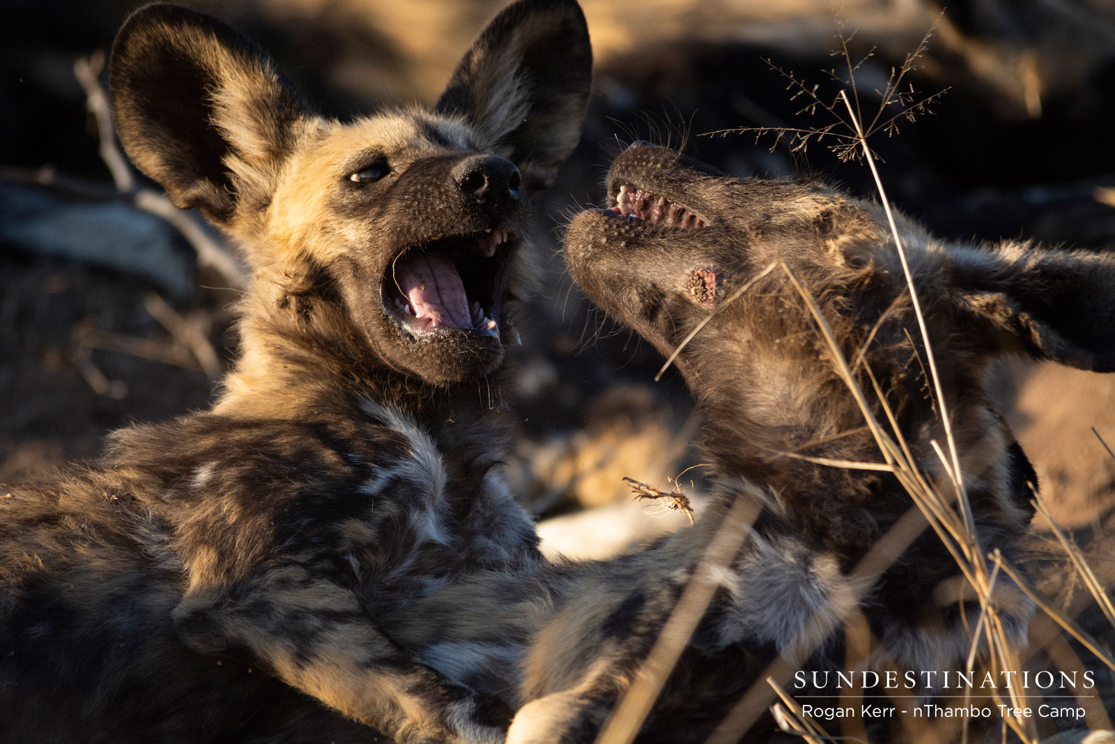 Wild Dogs Pups at nThambo